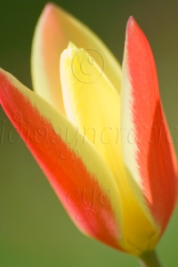 Yellow and Red Tulip