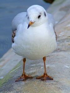 Momentarily Cute Young Gull