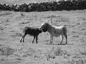 Donkey Love - Two Donkeys 'Hugging'