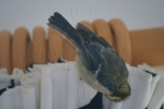 Pecking at Curtains