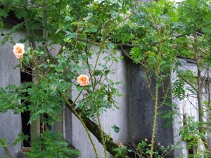 Abandoned Cottage with Roses