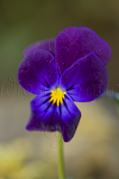 Pansy for Remembering
