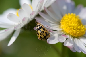 Yellow and Black Fourteen Spot Ladybird on White Daisy-like Flowers Tinged with Pale Pink and Big Yellow Raised Centres