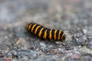 Bug - (Cinnabar Caterpillar)
