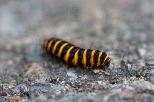 Bug - (Cinnabar Caterpillar)