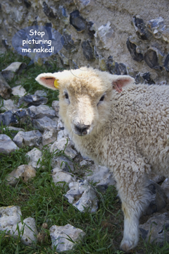 A Sheep from a Knitter's Viewpoint